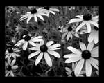 Wild Daisies II - Reissue by maverick3x6