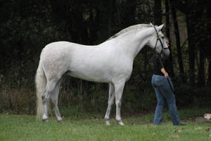 Warmblood Stock by iEvent