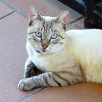 A Portrait of the Cat with Pale Blue Eyes by tahirlazim