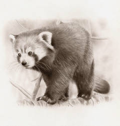 Red Panda by kad84