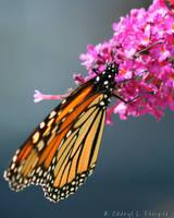 Monarch 6 by Cheryl-P