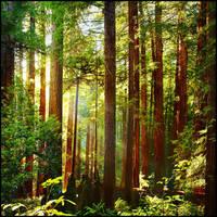 Muir Woods by kimjew