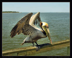 Brown Pelican by renaissanceman3