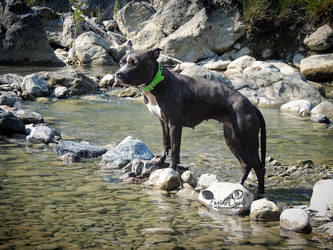 Akebia The American Staffordshire Terrier by EngioloDevolo