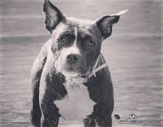 Akebia The American Staffordshire Terrier BW! by EngioloDevolo