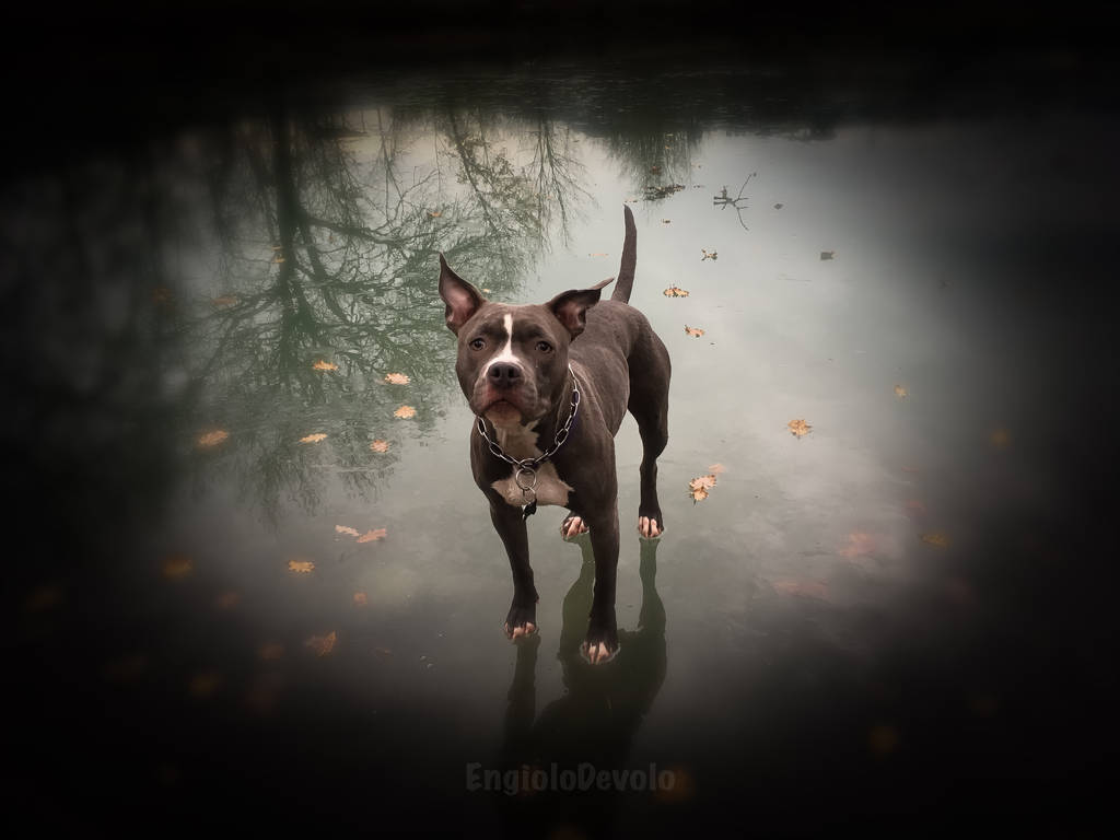 Akeiba The American Staffordshire Terrier by EngioloDevolo