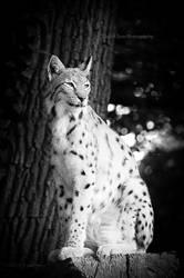 Lynx by DanielZrno