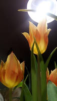 tulips by Lilithaya