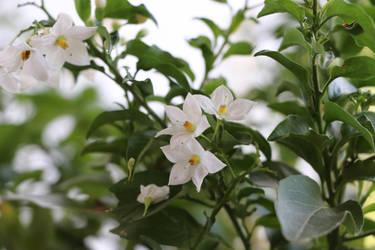 white flower^^ by Lilithaya