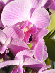 i realy like orchids^^ by Lilithaya