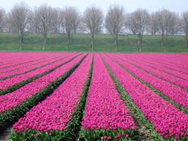 tulip field in magenta by schaduwvacht