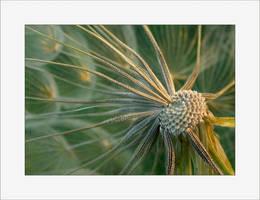 Dandelion by solodaddy