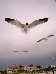 Seagull IV by Daking9