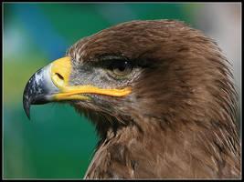 Steppe Eagle Portrait by cycoze
