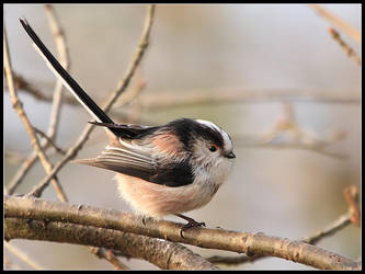 Long Tailed Tit 2 by cycoze