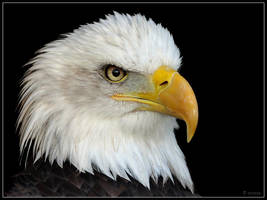 Bald Eagle Portrait by cycoze