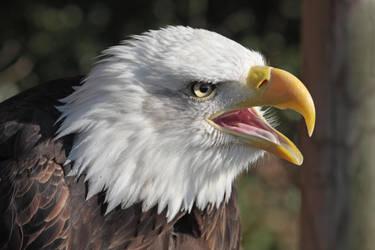 Bald Eagle Cry by cycoze