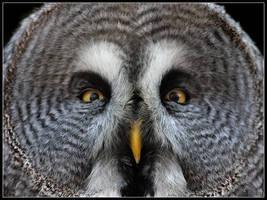 Great Grey Owl by cycoze