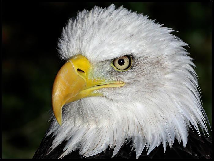 Bald Eagle 3 by cycoze