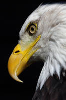 Bald Eagle Face by cycoze