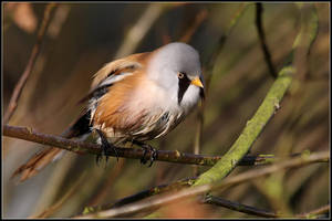 Bearded Reedling by cycoze