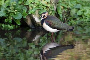 Lapwing by cycoze