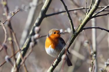 Robin by cycoze