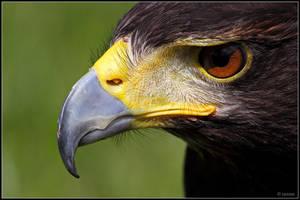 Harris Hawk Portrait by cycoze