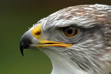 Ferruginous Hawk/Eagle by cycoze