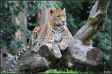 Sri Lankan Leopard by cycoze