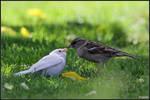 Albino Sparrow by cycoze