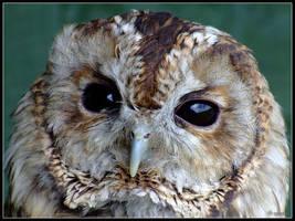 Tawny Owl by cycoze