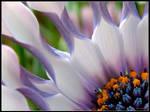 The Last Daisy by cycoze