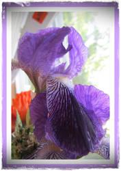 Framed Iris by joyrascal