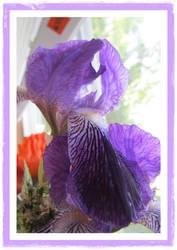 Framed Iris 1 by joyrascal