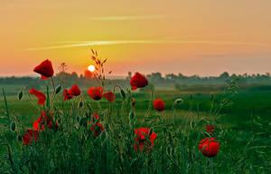 Poppy day 2 by lica20