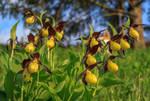 Cypripedium calceolus by lica20
