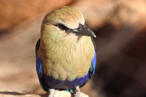 Blue-bellied Roller by shadowfire-x