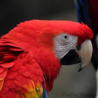 Scarlet Macaw by shadowfire-x