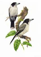 Butcherbirds by YemaYema