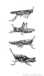 Grasshoppers by YemaYema