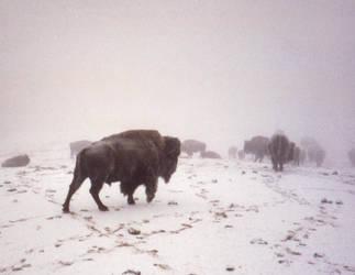 Bison in snow by DavidofArbelaStock