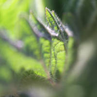 Nettle leaf by JaBoJa