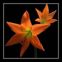 Orange Cutie by Althytrion