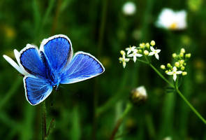 Common Blue by Althytrion