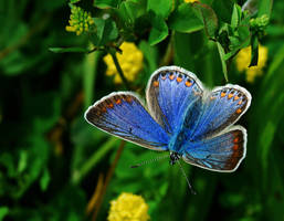 Common Blue II by Althytrion