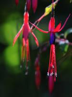 Wild Fuchsia by Althytrion