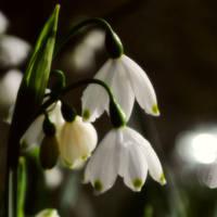 Elfin Bells by Althytrion
