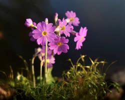 Tiny Primrose by Althytrion
