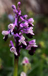 Amazing Wild Orchid by Althytrion